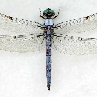 ODONATA AND OTHERS